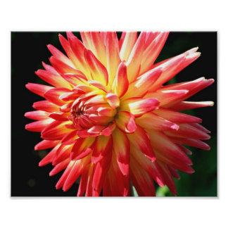 Cierre rojo y amarillo de la flor de la dalia 10x8 fotos
