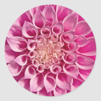 Cierre rosado de la dalia para arriba pegatina redonda