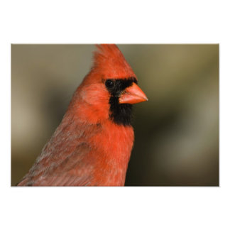 Cierre septentrional del cardenal encima del retra impresion fotografica