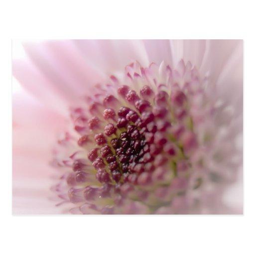 Cierre suave de la flor del rosa en colores pastel postales