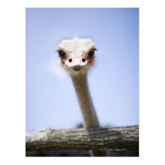 Ciérrese encima de la cabeza de la avestruz tarjetas postales