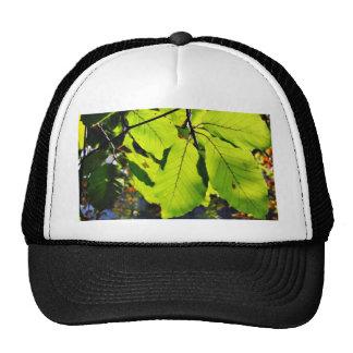 Ciérrese encima de la foto de las hojas de la haya gorros