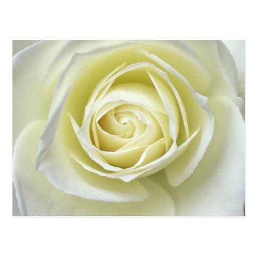 Ciérrese encima de los detalles del rosa blanco tarjeta postal