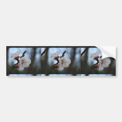 Ciérrese encima del flor del albaricoque en sombra pegatina de parachoque