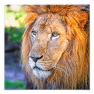 Ciérrese encima del león impresiones fotograficas