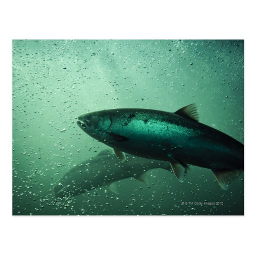 Ciérrese encima del tiro de los salmones que corre tarjeta postal