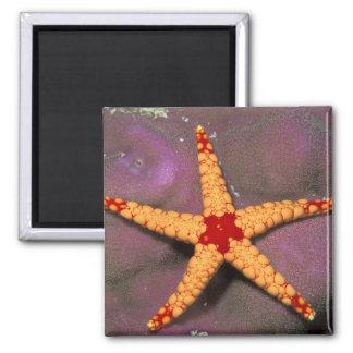 Ciérrese para arriba de estrellas de mar, o del fr imán para frigorifico