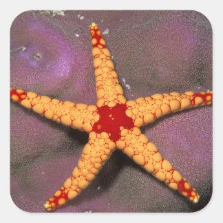 Ciérrese para arriba de estrellas de mar, o del pegatina cuadrada