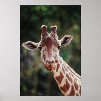 Ciérrese para arriba de jirafa reticulada posters