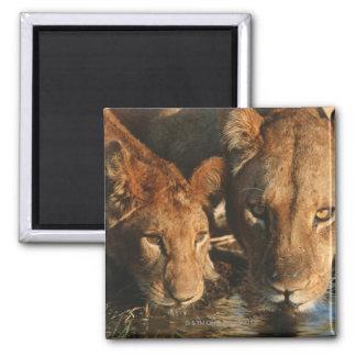 Ciérrese para arriba de la leona (Panthera leo) y  Iman