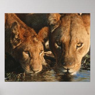 Ciérrese para arriba de la leona (Panthera leo) y  Impresiones