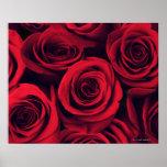 Ciérrese para arriba de las flores del rosa rojo póster