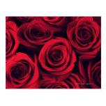 Ciérrese para arriba de las flores del rosa rojo tarjeta postal
