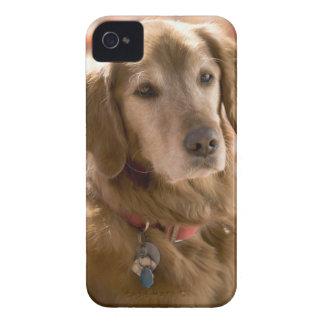 Ciérrese para arriba de perro de oro del labrador Case-Mate iPhone 4 coberturas