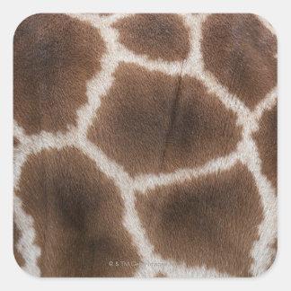 Ciérrese para arriba de piel de las jirafas pegatina cuadrada