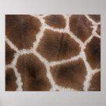 Ciérrese para arriba de piel de las jirafas poster
