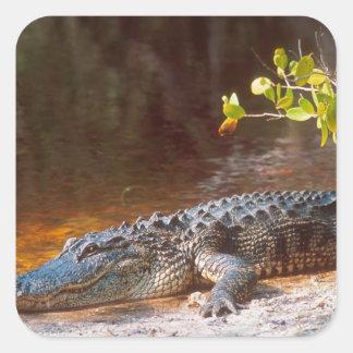 Ciérrese para arriba de un cocodrilo americano en pegatina cuadrada