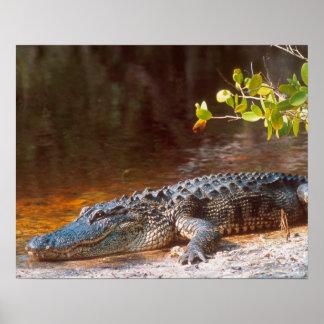 Ciérrese para arriba de un cocodrilo americano en  póster