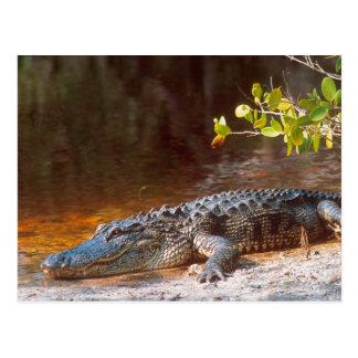 Ciérrese para arriba de un cocodrilo americano en  postal