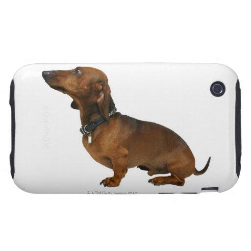 Ciérrese para arriba de un dachshund iPhone 3 tough protectores
