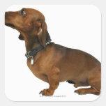 Ciérrese para arriba de un dachshund pegatina cuadradas personalizada