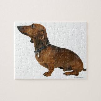 Ciérrese para arriba de un dachshund puzzles