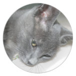 Ciérrese para arriba de un gatito gris plato para fiesta