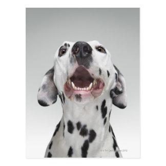 Ciérrese para arriba de un perro dálmata tarjetas postales