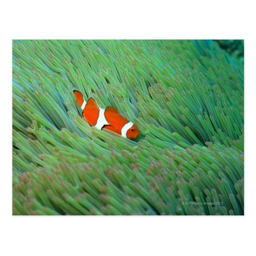 Ciérrese para arriba de un pescado de anémona de p tarjeta postal