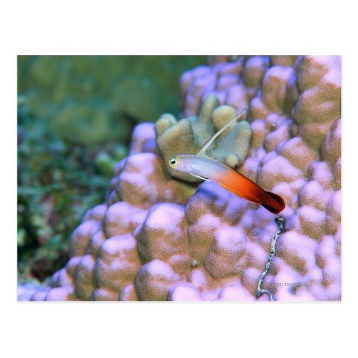 Ciérrese para arriba de un pescado del dardo del f postales