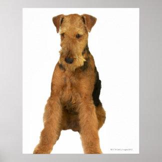 Ciérrese para arriba de un terrier del airedale poster