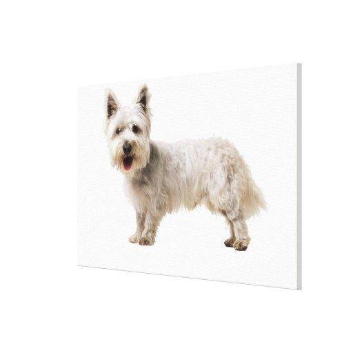 Ciérrese para arriba de un terrier lona envuelta para galerias