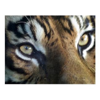 Ciérrese para arriba de un tigre de Sumatran del Tarjeta Postal