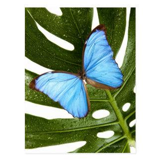 Ciérrese para arriba de una mariposa azul de tarjetas postales