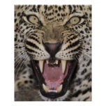 Ciérrese para arriba del leopardo que gruñe impresiones