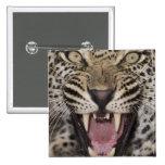 Ciérrese para arriba del leopardo que gruñe pin