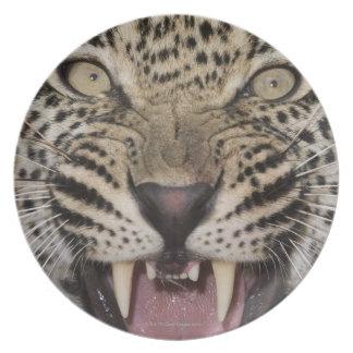 Ciérrese para arriba del leopardo que gruñe platos para fiestas