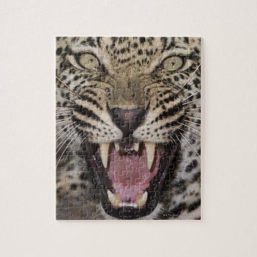 Ciérrese para arriba del leopardo que gruñe rompecabezas con fotos