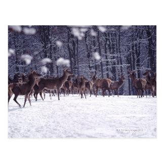 ciervo común tarjeta postal