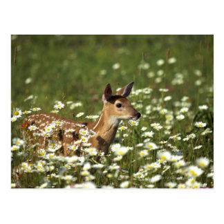 ciervos Blanco-atados en el campo de flores, Postales