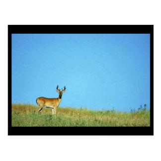 ciervos Blanco-atados Tarjeta Postal