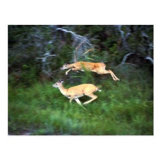 ciervos Blanco-atados Tarjetas Postales