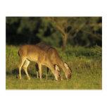 ciervos Blanco-atados, virginianus del Odocoileus, Tarjeta Postal