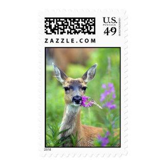 Ciervos de cola negra de Sitka con el Fireweed US