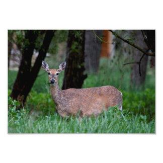 Ciervos de la gama que mascan en hierba en Wyoming Fotografía