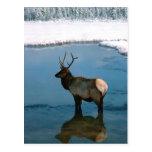 Ciervos del invierno en la charca postal