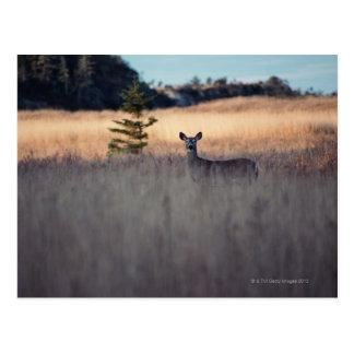 Ciervos en campo de la hierba alta tarjeta postal
