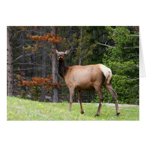 ciervos en el rocoso tarjeta de felicitación