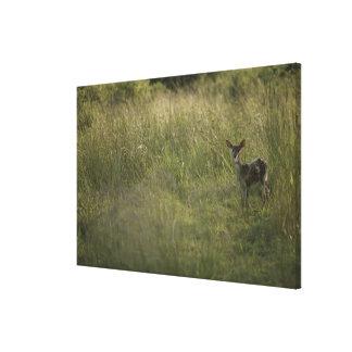 Ciervos en hierba alta lona estirada galerias