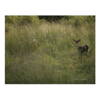 Ciervos en hierba alta postales